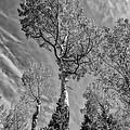 Aspen In The Sky Bw by Mitch Johanson