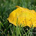 Aspen Leaf by Susan Herber