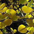 Aspen Leaves 1 by Tony and Kristi Middleton
