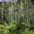 Aspen Trees - Vail by Madeline Ellis