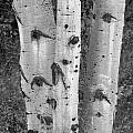 Aspen Trees by Sandra Bronstein