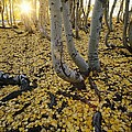 Aspen Trees Stand Above A Carpet by Phil Schermeister