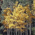Aspens In Color by Shawn Naranjo
