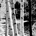Aspens L by Kathy Sampson