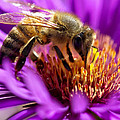 Aster Bee by Vicki Jauron