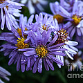 Aster Dew Drops by Susan Herber
