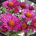 Aster Named September Ruby by J McCombie