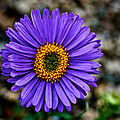 Aster by Susan Herber