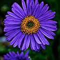 Aster Trio by Susan Herber