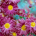 Asters by Marcio Faustino