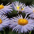 Asters Painterly by Ernie Echols