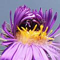 Asters Starting To Bloom Close-up by Robert E Alter Reflections of Infinity