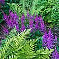 Astilbe And Ferns by Douglas Barnett