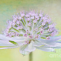 Astrantia Art by Jacky Parker