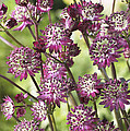 Astrantia Astrantia Sp Dark Shiny Eyes by VisionsPictures