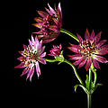 Astrantia by Endre Balogh