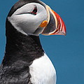 Atlantic Puffin by Bruce J Robinson
