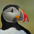 Atlantic Puffin Portrait by Tony Beck