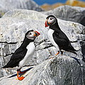 Atlantic Puffins by Bruce J Robinson