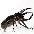 Atlas Beetle by Chris Hellier