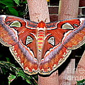Atlas Moth by Kevin Fortier