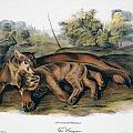 Audubon: The Cougar by Granger