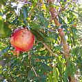 Aunt Tissy's Pomegranate Tree  by Nancy Patterson