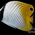 Auriga Butterfly Fish by Dant� Fenolio