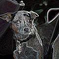 Australian Cattle Dog Sheltie Mix by One Rude Dawg Orcutt