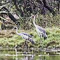 Australian Cranes At The Billabong by Douglas Barnard