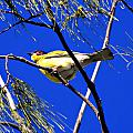 Australian Figbird by Douglas Barnard