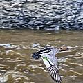 Australian Wood Duck In Flight by Douglas Barnard