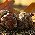Autumn Acorns by Susan Herber