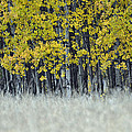 Autumn Aspen Grove Near Glacier National Park by Bruce Gourley