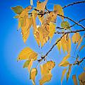 Autumn Aspen Leaves And Blue Sky by James BO  Insogna