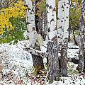 Autumn Aspens And Snow by D Robert Franz