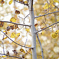 Autumn Aspens by Angie Rea