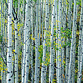 Autumn Aspens by D Robert Franz