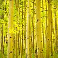 Autumn Aspens Vertical Image  by James BO  Insogna