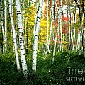 Autumn Birch Grove by Mike Nellums
