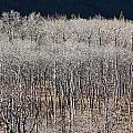 Autumn Birches by Ian Mcadie