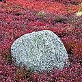 Autumn Blueberry Field by John Greim