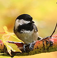 Autumn Chickadee by Angie Vogel