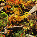 Autumn Ferns On Pickle Creek At Hawn State Park by Greg Matchick
