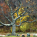 Autumn Grandfather Tree 2 by Mike Nellums