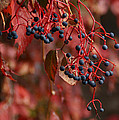 Autumn Grapes by Mick Anderson