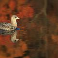 Autumn Gull by Karol Livote