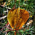 Autumn Leaf And Juniper Needles by Aaron Burrows