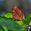 Autumn Leaf Butterfly by Louise Heusinkveld
