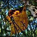 Autumn Leaf In The Pine Needles by Aaron Burrows